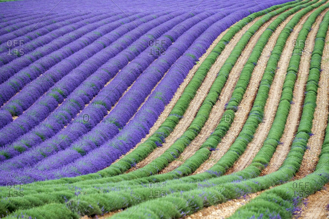 A lavender field in full bloom after the first rows of lavender have been cut as the harvest begins
