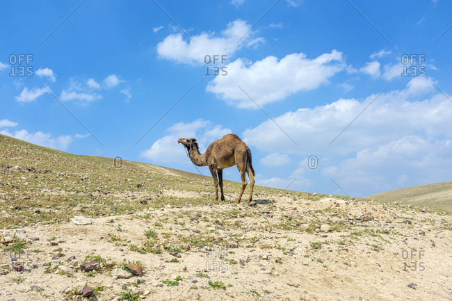Bedouin camel in Ar Rawlin village, near Arab ar Rashaydah, West Bank, Palestine