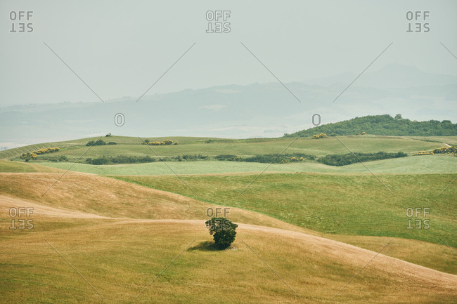 Small tree on hilly yellow valley in green field