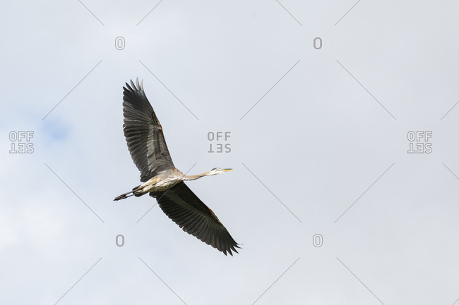 A great blue heron flies above a lake while searching for food on a sunny summer morning.