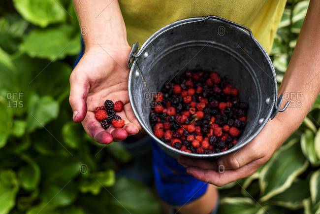 A close up of child's hands gathering fresh berries in a bucket