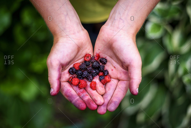 Child's hands gathering fresh berries in a bucket