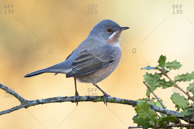 Male of subalpine warbler, (sylvia cantillans), perched on a tree branch against a uniform background.