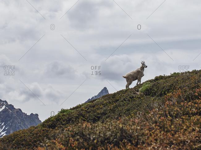 A mountain goat, North Cascades National Park, Washington