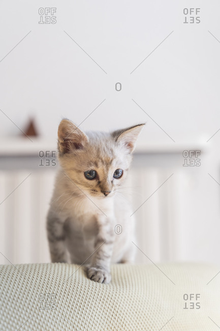 Close-up of cute kitten standing on sofa against wall at home