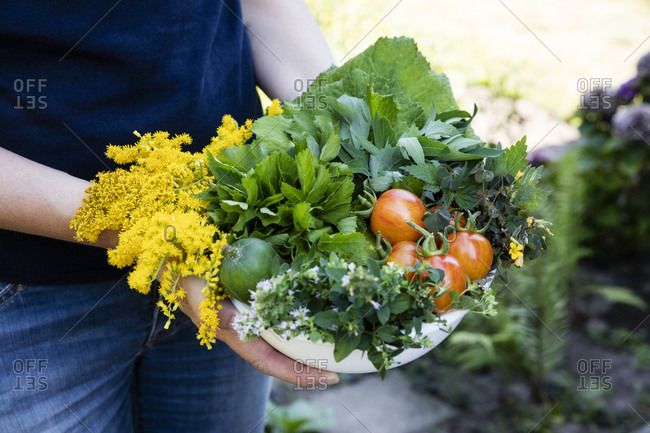 Woman holding bowl of harvested wild herbs sorrel- oregano- coltsfoot- herb gerard- nettle- goldenrod and tomatoes
