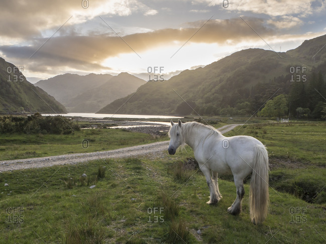 White horse standing on grassy land against cloudy sky at sunset- Scotland- UK