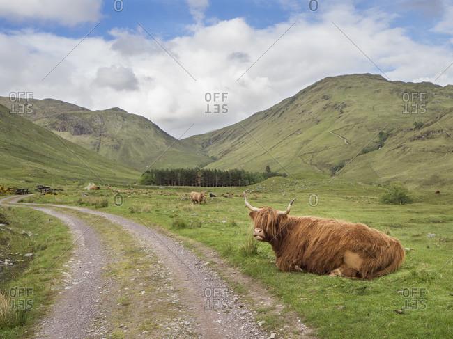 Highland cattle sitting on grassy land against cloudy sky- Scotland- UK