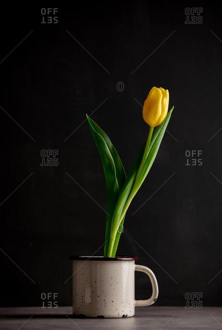 Yellow tulip grown in a metal mug