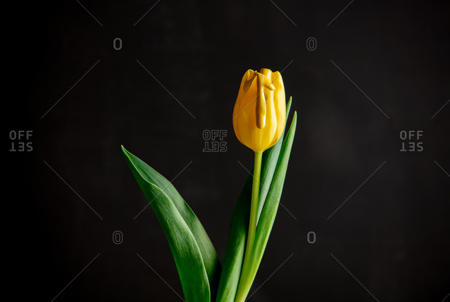 Yellow paint on the petals of a tulip