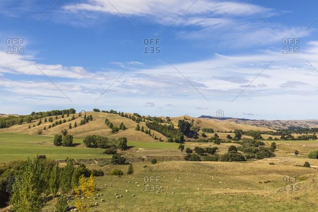New Zealand- Flock of sheep grazing on green grassy hill