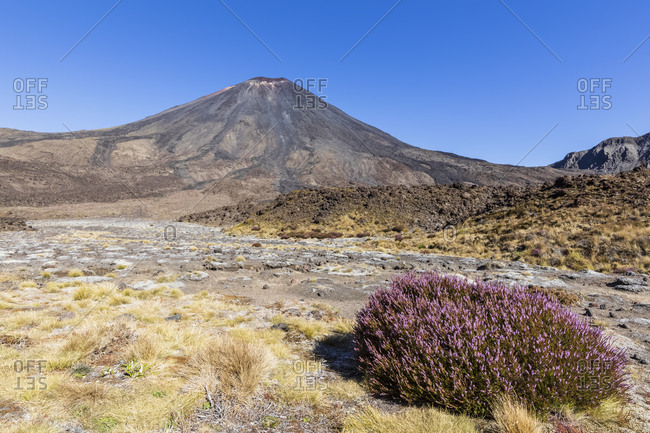 New Zealand- Ruapehu District- Heather blooming in front of Mount Ngauruhoe volcano