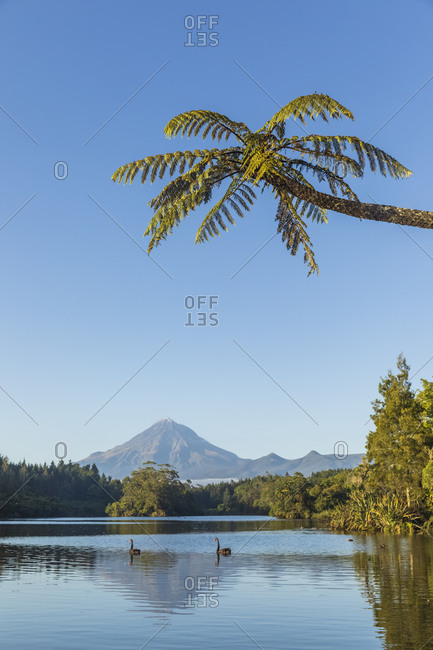 New Zealand- Palm tree over black swans (Cygnus atratus) swimming in Lake Mangamahoe and distant Mount Taranaki volcano