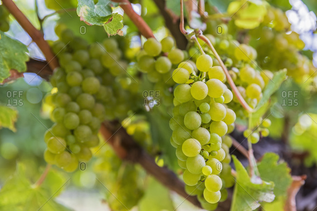 New Zealand- Marlborough Region- Close-up of Sauvignon Blanc grapes growing in vineyard