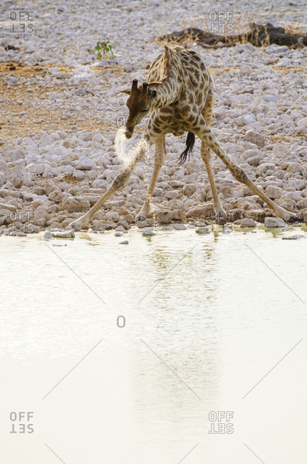 Namibia- Giraffe drinking from waterhole in Okaukuejo Camp
