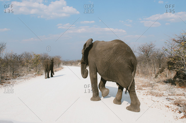 Namibia- Elephant family crossing main dirt road in Etosha National Park looking for food and water in middle of drought