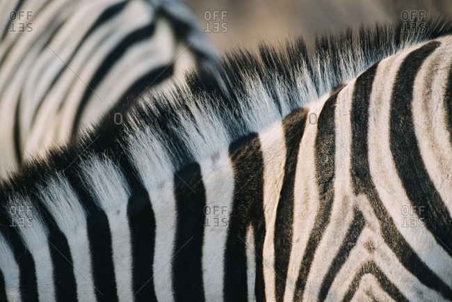 Namibia- Close-up of zebra mane and stripes