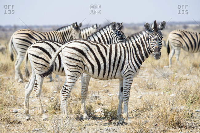 Namibia- Zebras in Etosha National Park