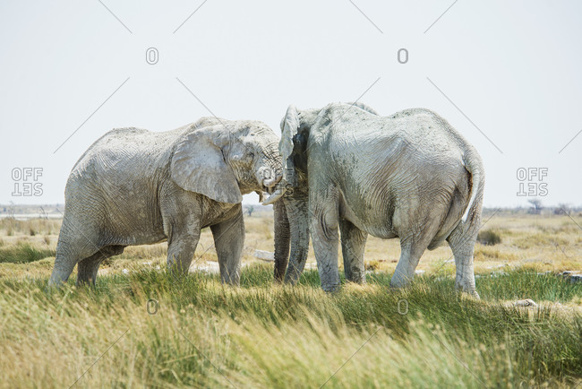 Namibia- Two adult elephants clutching tusks in Etosha National Park