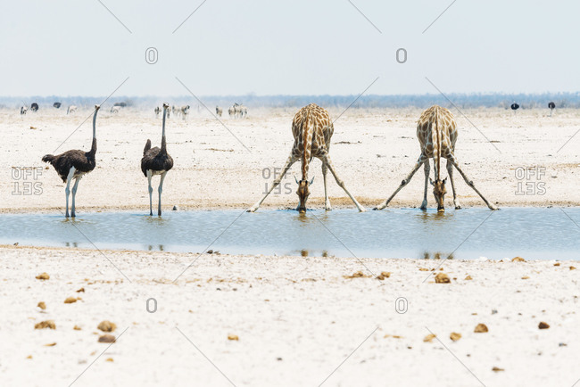Namibia- Ostriches and giraffes at waterhole in Etosha National Park