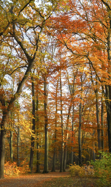 Germany- Saxony- Beech forest in autumn