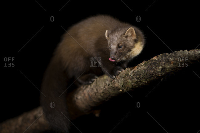 UK- Scotland- Portrait of European pine marten (Martes martes) licking lips on tree branch at night