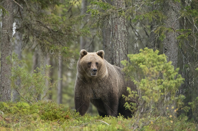 Brown bear in autumnal forest- Kuhmo- Finland