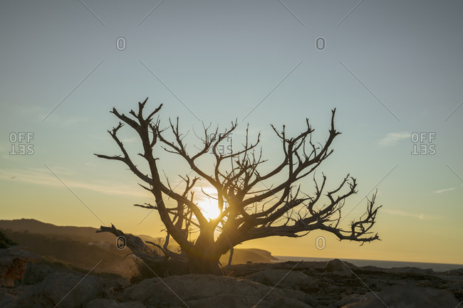 Dead bush at the coast at sunset- Iboza- Spain