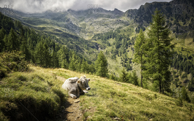 Cow resting on alpine pasture- Passeier Valley- South Tyrol- Italy