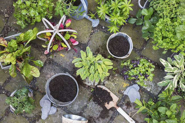 Planting of various green culinary herbs