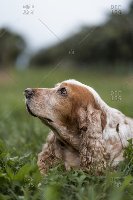 Portrait of dog lying in meadow