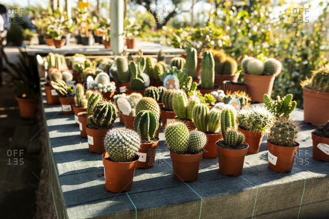 Various cacti for sale at plant nursery
