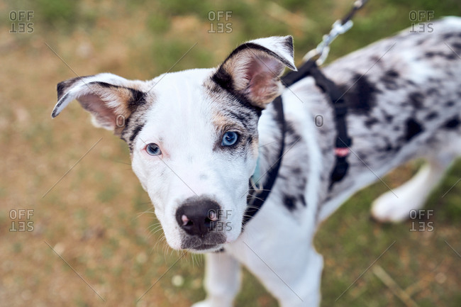 Border collie puppy with blue eyes in the field looking at camera