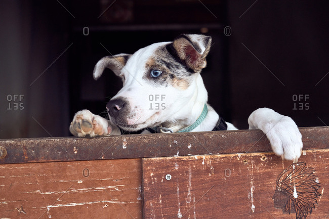 Border collie puppy with blue eyes peeking out the wooden door