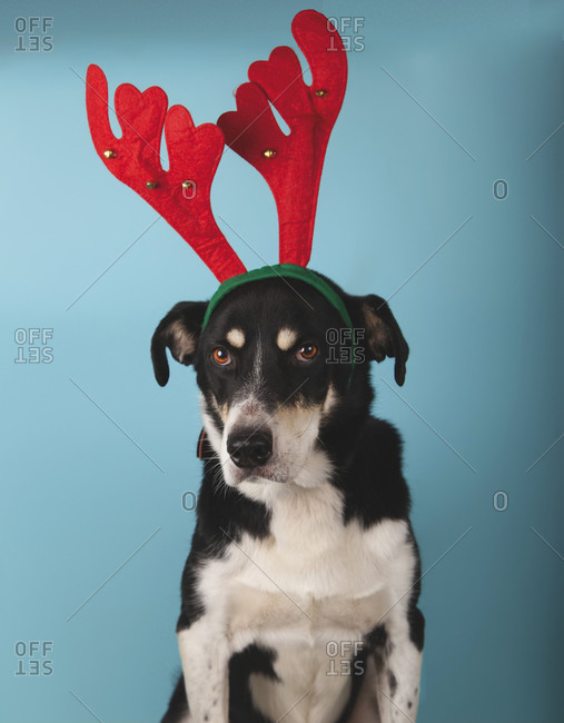 mongrel dog with red reindeer antlers on blue background. Christmas concept.