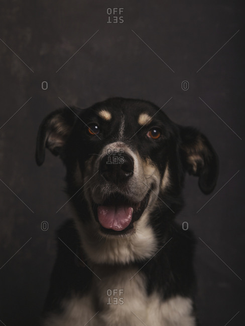 Dark portrait of a mongrel dog with expressive face waiting to be adopted