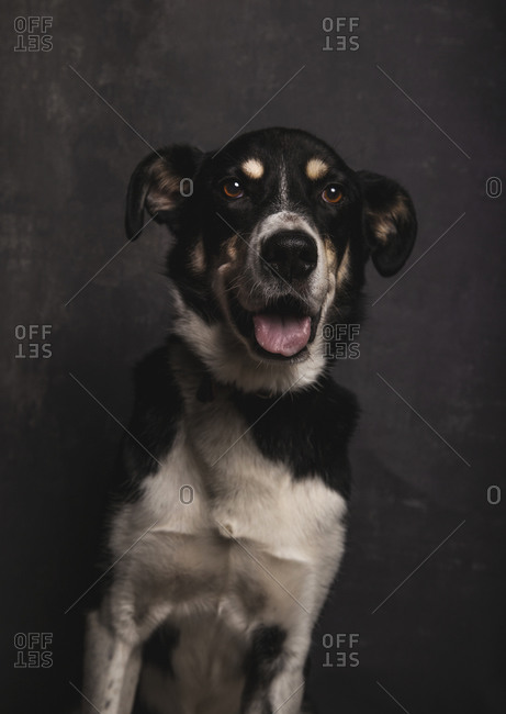Dark portrait of a mongrel dog with nice face on gray background