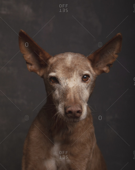Portrait of podenco dog in older adoption on gray background