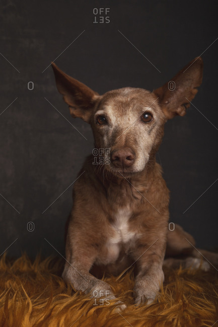Portrait of podenco dog in adoption lying on an orange blanket on gray background