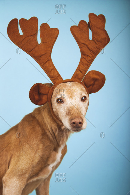 Classic podenco dog portrait with brown reindeer antlers on blue background. Christmas concept.