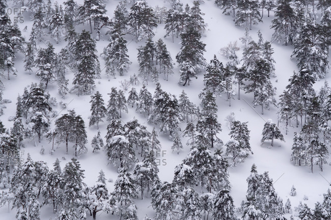 Pine forest covered with snow and ice in a misty landscape in the North of Spain Mountains