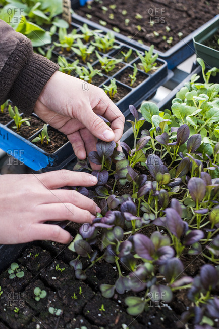 Hands examining trays of seedlings while growing
