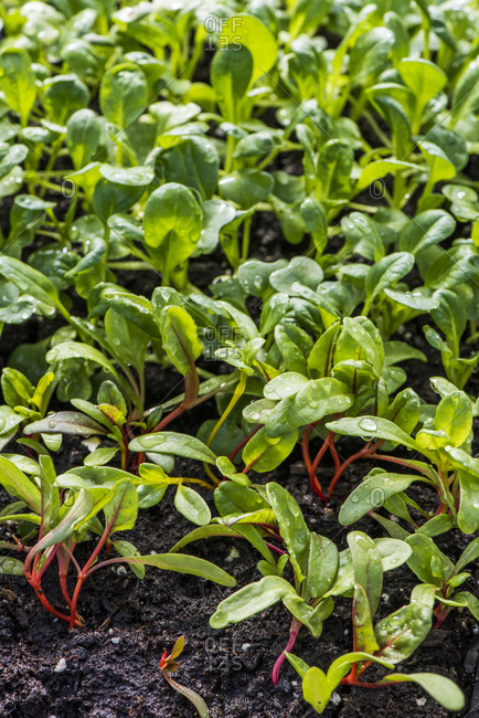 Close up of vegetable seedlings growing