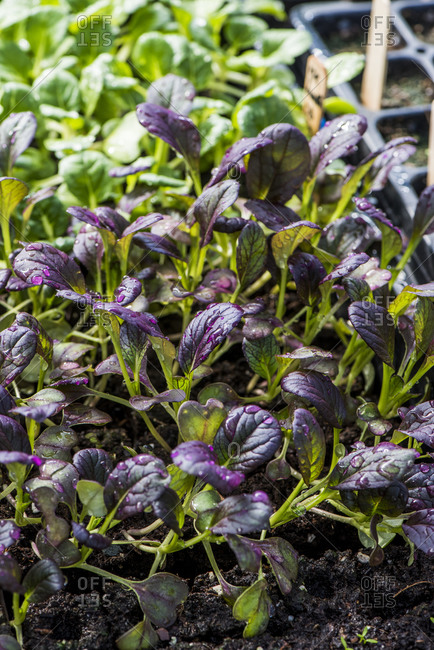 Close up of purple and green vegetable seedlings growing
