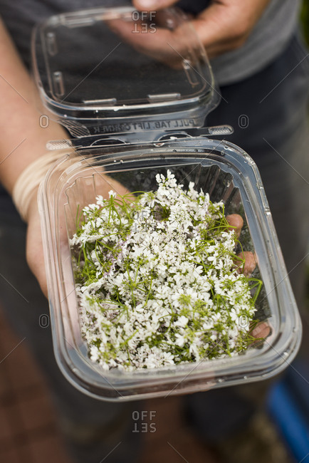 Farmer's hands holding clamshell of harvested edible cilantro flowers with green berries