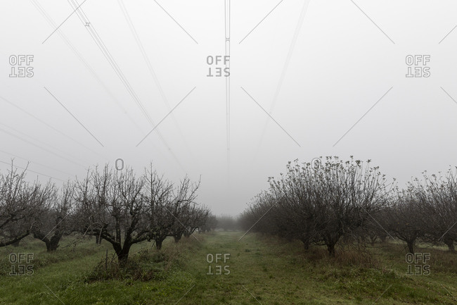 Leafless trees growing in rows on plantation with green grass and electric cables against  sky in foggy day