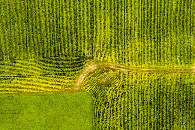 Green rows in a corn field viewed from above in Clarendon, Vermont
