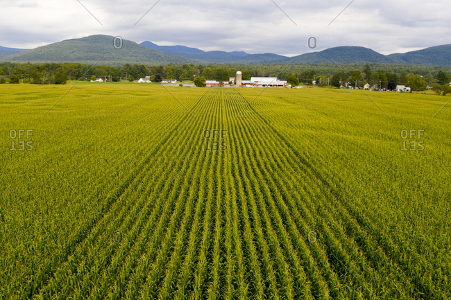 Aerial view of green rows in a corn field in Clarendon, Vermont