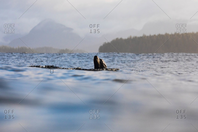 Sea lion poking up above the ocean surface