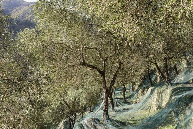 Olive grove in Badalucco, Italy